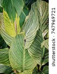 brown spots on green leaves... | Shutterstock . vector #747969721