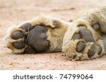 A Pair Of Lion Paws