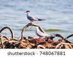 common tern  sterna hirundo ... | Shutterstock . vector #748067881