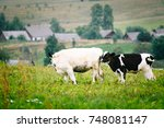 calves nuzzle each other | Shutterstock . vector #748081147