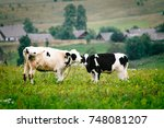 calves nuzzle each other | Shutterstock . vector #748081207