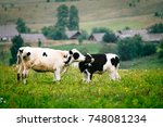 calves nuzzle each other | Shutterstock . vector #748081234