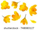Stock photo crocus yellow flower isolated set on white background 748083127