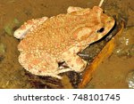 Small photo of male toads Amietophrynus mauritanicus river Morocco