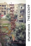 Small photo of A branch of Tulsi plant. Tulsi or Tulasi (Ocimum tenuiflorum) or Holy Basil is a sacred plant in Hindu belief. Hindus regard it as an earthly manifestation of the goddess Tulsi.