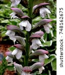 Small photo of Acanthus Summer Beauty