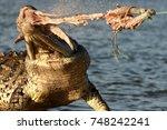 A Baited Crocodile Eats A...