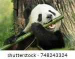 a panda eats a large bamboo... | Shutterstock . vector #748243324