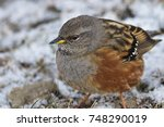 Small photo of Accentor