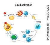 activation of b cell leukocytes ... | Shutterstock .eps vector #748304221