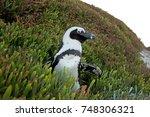 african penguin  spheniscus... | Shutterstock . vector #748306321