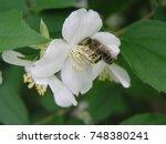 jasmine  yasmine is a genus of... | Shutterstock . vector #748380241