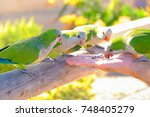 Small photo of Four green amazon parrots are fed from a hand on the Canary Island of Fuerteventura, Spain.