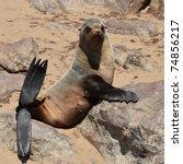 funny cape fur seals on cape... | Shutterstock . vector #74856217