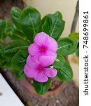 Small photo of Pink Vinca on green leaves background