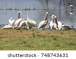 flock of pelicans at the water... | Shutterstock . vector #748743631