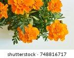 cempasuchil flowers ... | Shutterstock . vector #748816717