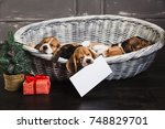 Stock photo dog holding a blank sheet in her mouth six beagle puppies sleeping in basket young beagle puppy 748829701