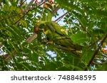 Rose Ringed Parakeet Eating...