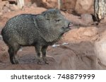 beuatiful wild javelina boar... | Shutterstock . vector #748879999