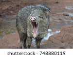 wild javerline open mouth... | Shutterstock . vector #748880119