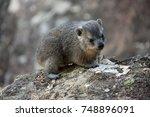 cute dassie climbing on rock | Shutterstock . vector #748896091