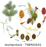 life cycle of pine tree ... | Shutterstock .eps vector #748965631