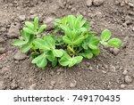 peanut plant  arachis hypogaea  ...   Shutterstock . vector #749170435