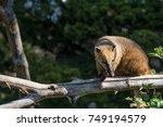 south american coati  nasua... | Shutterstock . vector #749194579
