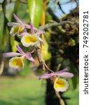 dendrobium  primulinum  laos ... | Shutterstock . vector #749202781