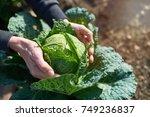 fresh savoy cabbage   brassica... | Shutterstock . vector #749236837