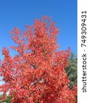 Small photo of Liquidambar styraciflua, commonly called American sweetgum, in fall season with Its red, orange and yellow leaves