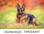 beautiful german shepherd dog... | Shutterstock . vector #749314357