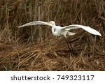 Great White Egret Coming Into...