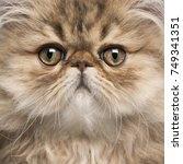 Close Up Of Persian Kitten  3...