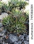 Haworthia Tessellata Succulent...