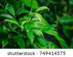 nature green leaf dark foliage... | Shutterstock . vector #749414575