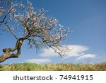 old weather beaten tree still... | Shutterstock . vector #74941915