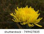 yellow lush flower | Shutterstock . vector #749427835