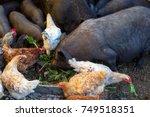 feeding vietnamese pigs and...   Shutterstock . vector #749518351