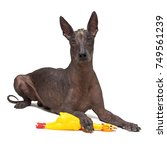 cute mexican hairless dog ... | Shutterstock . vector #749561239