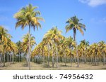 Plantation of coconut palm trees in Cuba. - stock photo