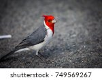 Red Crested Cardinal On The...