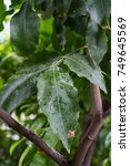 Small photo of melicoccus bijugatus honeyfruit tree sapindaceae from sout america