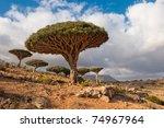Dragon Trees At Homhil Plateau...