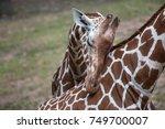 reticulated giraffe  giraffa... | Shutterstock . vector #749700007