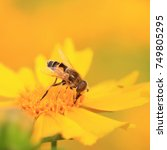 Small photo of Syrphidae in the flowers