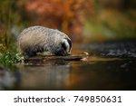 badger running in forest ... | Shutterstock . vector #749850631