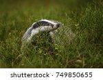 badger running in forest ... | Shutterstock . vector #749850655