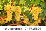 ripe white grapes on a vineyard ... | Shutterstock . vector #749915809